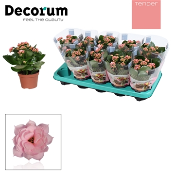 Kalanchoë Decorum TENDER - Serenity Soft Pink