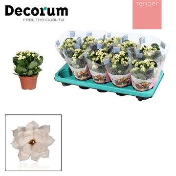 Kalanchoë Decorum TENDER -  Serenity Silk