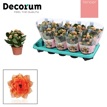 Kalanchoe Decorum TENDER - Serenity Peach