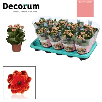 Kalanchoë Decorum TENDER - Serenity Red White