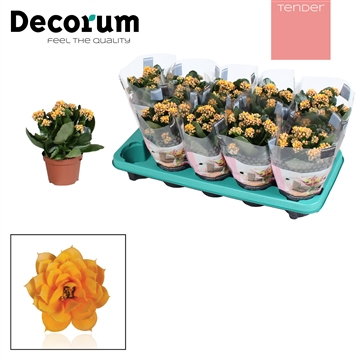 Kalanchoe Decorum TENDER - Serenity Gold
