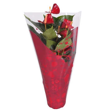 Anthurium Piccolo in Valentijn-Moederdag hoes (XL-Flowers)