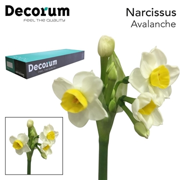 Narcis Avalanche