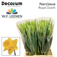 Narcis Royal Dutch