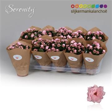 Kalanchoë papersleeve - Serenity Soft Pink