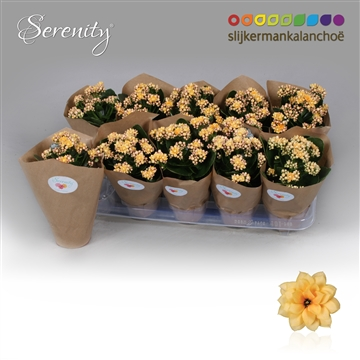 Kalanchoe Papersleeve - Serenity Apricot