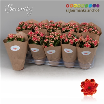 Kalanchoe Papersleeve - Serenity Red White