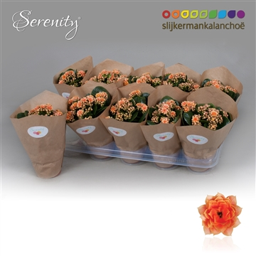Kalanchoe Papersleeve - Serenity Peach