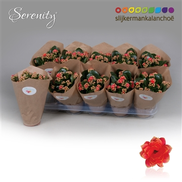 Kalanchoe Papersleeve - Serenity Coral