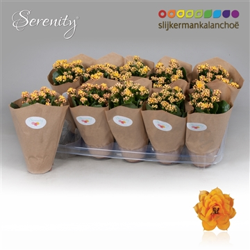Kalanchoe Papersleeve - Serenity Gold