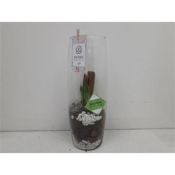 Glas sigar hyacinth
