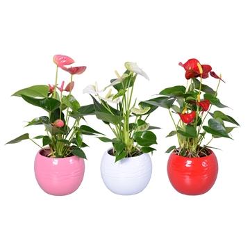 Anthurium 'XL-Flowers'' Ton sur Ton in bolpot