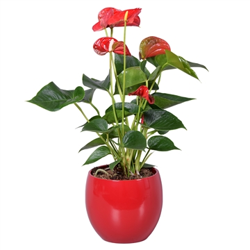 Anthurium Ton sur Ton in rode bolpot