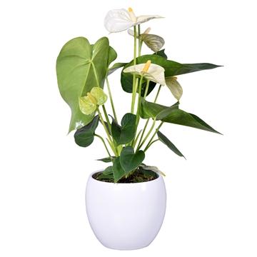 Anthurium Ton sur Ton in witte bolpot