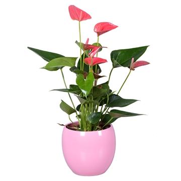 Anthurium Ton sur Ton in roze bolpot