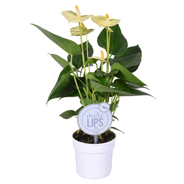 MoreLIPS® Anthurium Vanilla