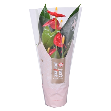Anthurium Sintra ''Just perfect®'' (XL-Flowers)