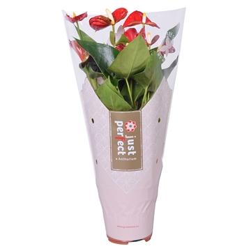 Anthurium Rustica ''Just perfect®'' (XL-Flowers)