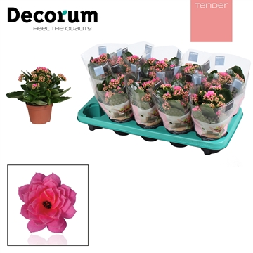 Kalanchoë Decorum TENDER- Pink