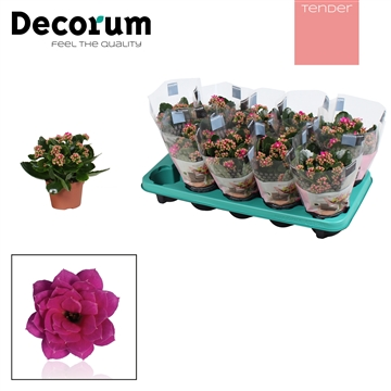 Kalanchoe Decorum TENDER - Serenity Purple