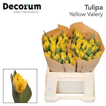 Tulipa Yellow Valery