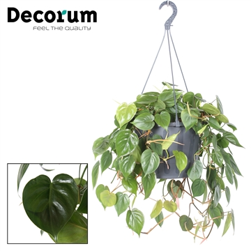 Philodendron scandens  XXL