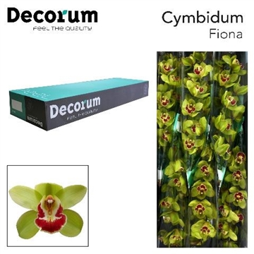 CYMB T Fiona Decorum