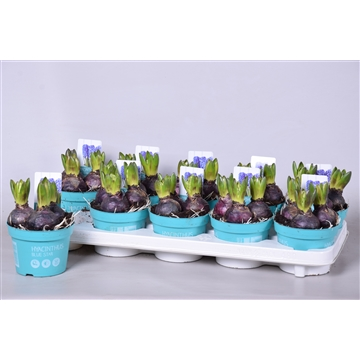 Hyacinthus Blue Star 'Diamond Collection'