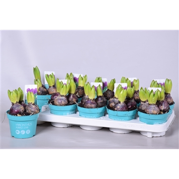 Hyacinthus Purple Sensation 'Diamond Collection'