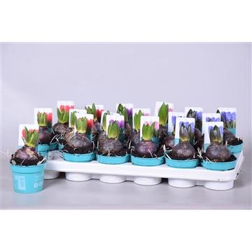 Hyacinthus 'Diamond Collection' in 3 kleuren