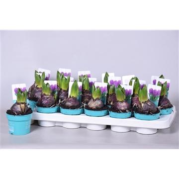 Hyacinthus Purple Sensation 'Diamond Collection'