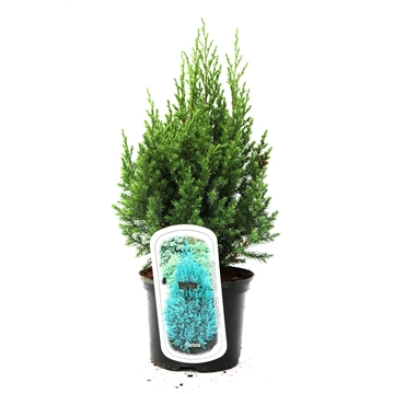 Juniperus chinensis 'Stricta'