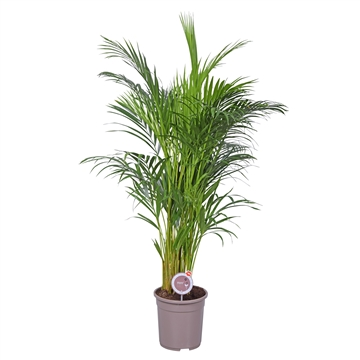 MoreLIPS® Dypsis lutescens (Areca) *taupe*