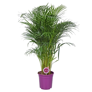 MoreLIPS® Dypsis lutescens (Areca) *paars*