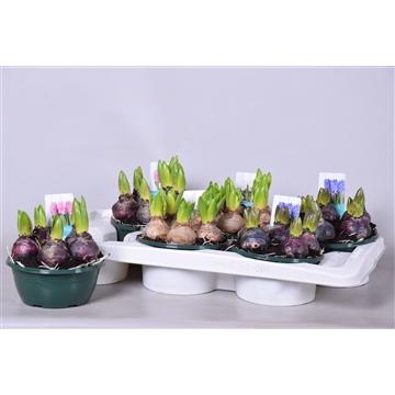 Hyacinthus in 3 kleuren (rose,wit en blauw)