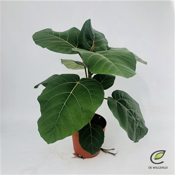 Ficus auriculata 'everest'