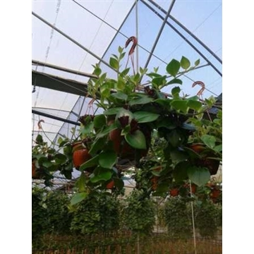 Aeschynanthus pink Hang / Colgar