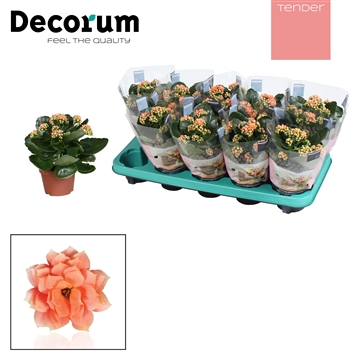 Kalanchoë Decorum TENDER - Serenity Salmon