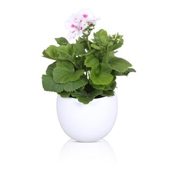 Pelargonium Grandiflorum in Wit 'Lisa' keramiek