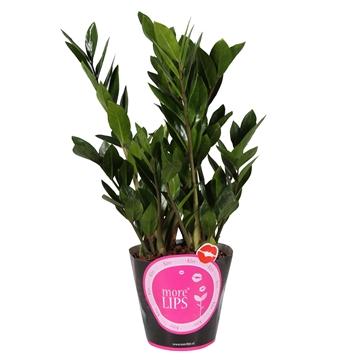 MoreLIPS® Zamioculcas Zamiifolia Zanzibar® 8+ in roze potcover