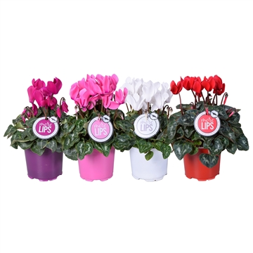MoreLIPS® Cyclamen mix