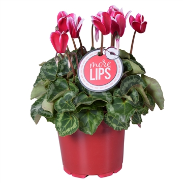 MoreLIPS® Cyclamen Fuji wine red