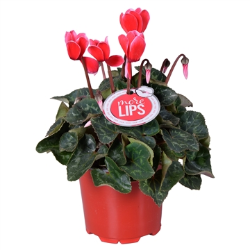 MoreLIPS® Cyclamen Fuji red