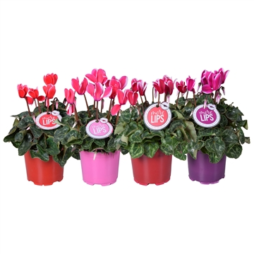 MoreLIPS® Cyclamen Fuji mix