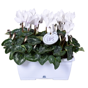 MoreLIPS® Cyclamen in wit duobakje