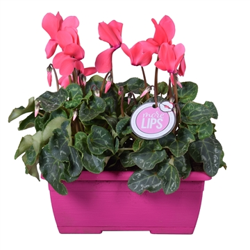 MoreLIPS® Cyclamen in roze duobakje