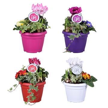 MoreLIPS® Winter trio in patiopot 'Januari Mix'