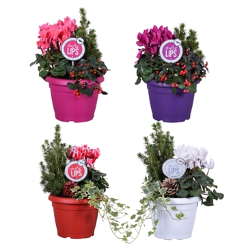 MoreLIPS® Winter trio in patiopot 'December Mix'