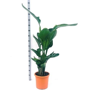 Strelitzia nicolai 3/4 pp