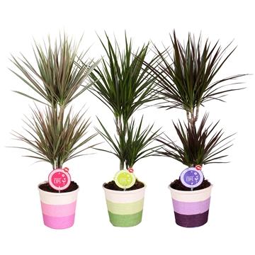 """MoreLIPS® Dracaena marginata mix 30-10 in Sisal """"Rainbow"""" pot 3 kleuren"""